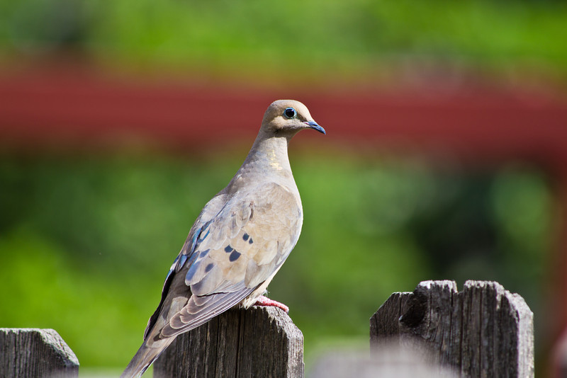 A capture of a dove on my backyard fence.