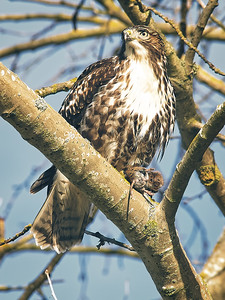 Hawk with Field Mouse