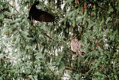 Crows Harassing a Great Horned Owl