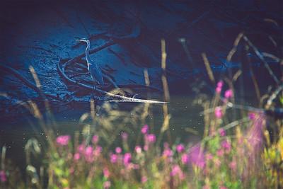 The Bluest Blue Heron