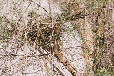 Dove on a Nest II