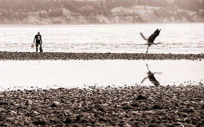 A blue heron takes flight from the shore along Whidbey Island as a man searching for clams approaches.