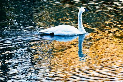 Swan on a Golden Pond