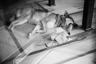Sleeping Dog with Torn Paper