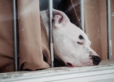 Sleeping Guard Dog