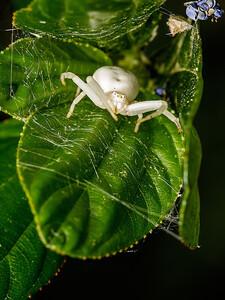 Goldenrod Crab Spider II