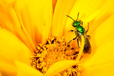 I believe this is a sweat bee, insect family Halictidae, resting on a yellow flower.