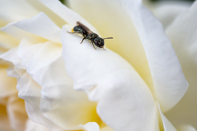 I believe this insect is some type of winged-ant perched on a white flower.