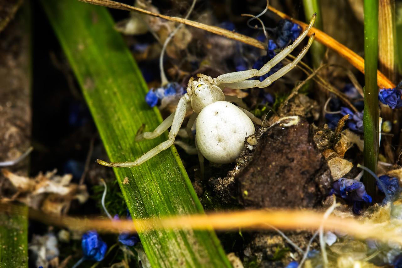 Goldenrod Crab Spider III