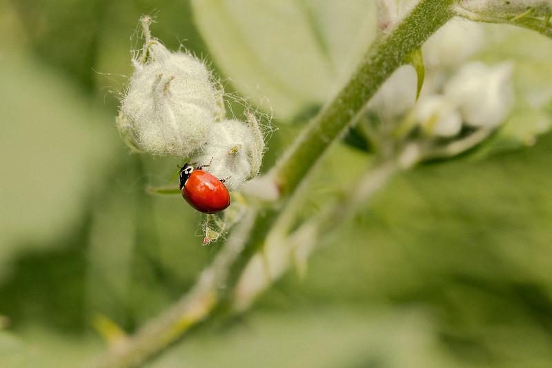 Red Ladybug on Blackberry Bush