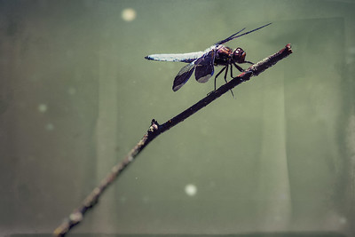 Male dragonfly warms itself in the sun on a small branch sticking out of a pond.