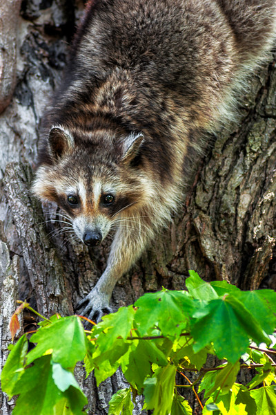 Raccoon - Lincoln Boyhood National Landmark