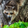 Raccoon - Lincoln Boyhood National Landmark