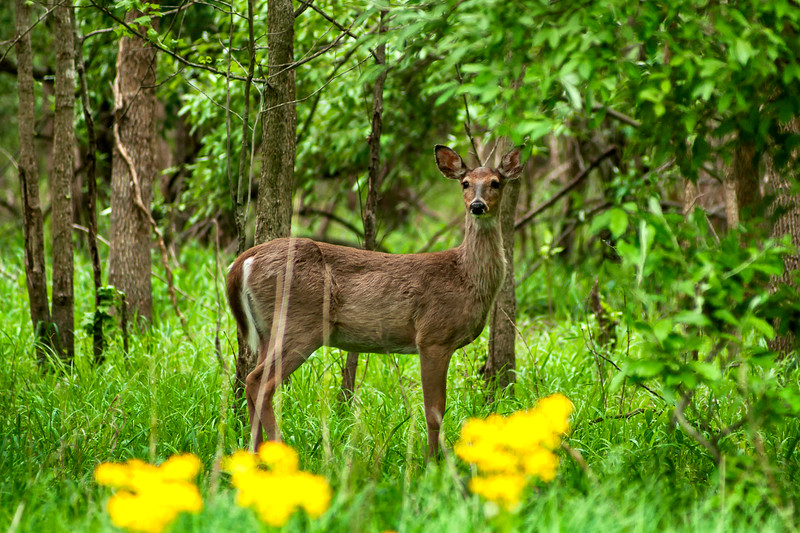 White Tail Deer - Wayne Fitzgerrell State Recreation Area