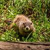 Starved Rock State Park - Groundhog