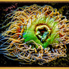 Sea Anemone #1