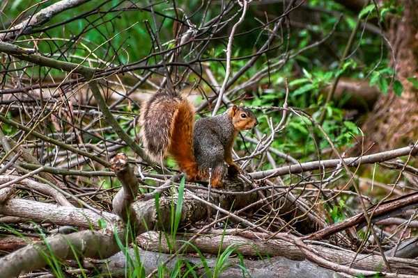 Gray Squirrel - Wayne Fitzgerrell State Recreation Area