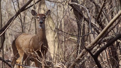 White-tailed Deer Stomping Hoof