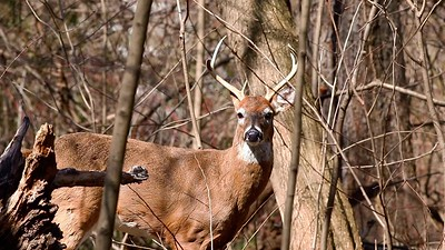 Two Bucks On The Move