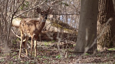 White-tailed Deer with an Itch