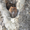 Red phased screech owl at Station rd.