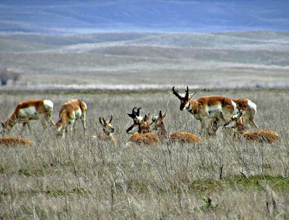 Pronghorn Antelope, <em>Antilocapra americana</em>. Carrizo Plain, San Luis Obispo Co., CA 3/14/06 Temblor Mts., background.