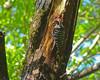 Nuttall's Woodpecker<br /> Redwood Regional Park, Alameda Co., CA  5/9/09