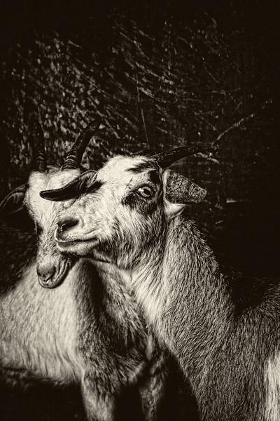 Goats  #2