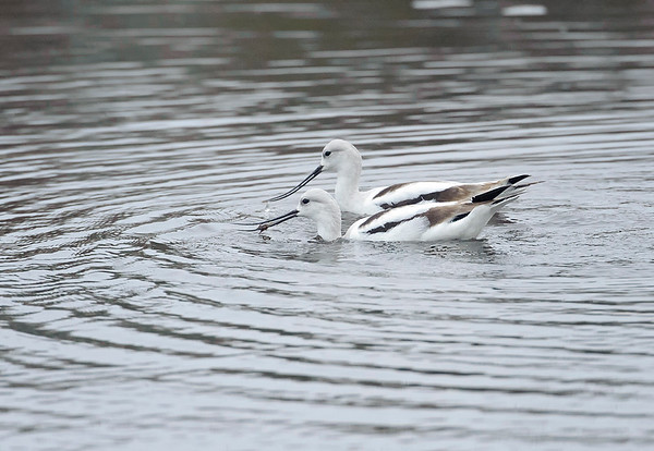 Avocets in the St. Marks NWR.