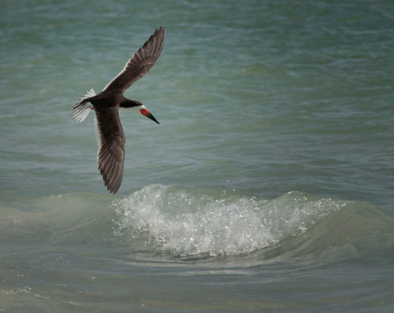 Black skimmer on Indian Rocks Beach, Florida
