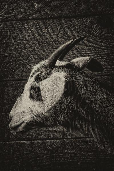Goat  #13