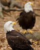 Bald eagles in Homosassa Springs Wildlife Park, Florida.