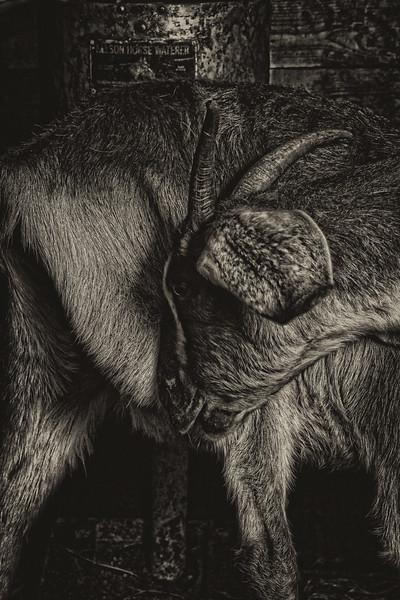 Goats  # 5