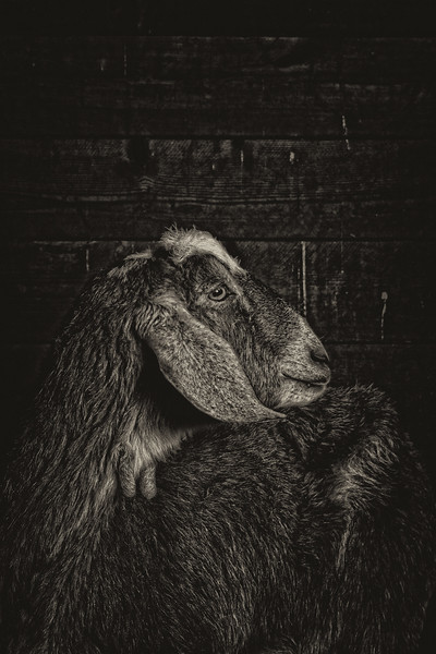 Goat  #11