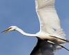 White egret. Saint Augustine Aligator Farm, Florida.