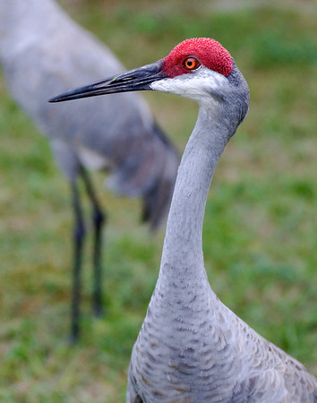 Florida Sand Hill Cranes. Frequent visitors to our yard.