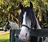 Gypsy vänner horses at Gypsy Gold Farms, Ocala, Florida.