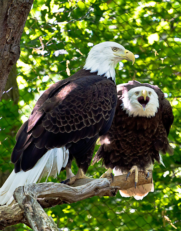 Bald Eagles at the Seneca Park Zoo in Rochester