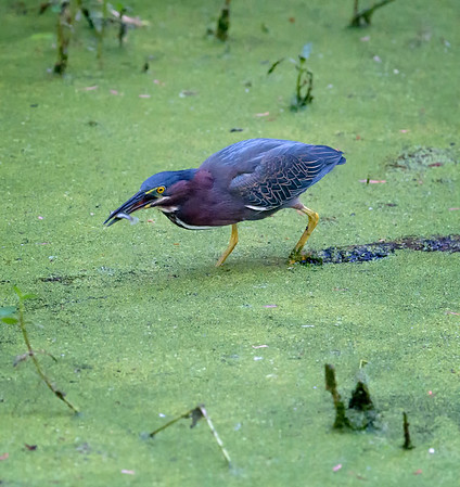 Green heron (yes!) in Circle B Bar Reserve, Lakeland, Florida.