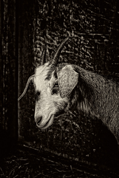 Goat  #5