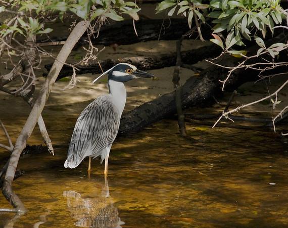 Loxahatchee River, Florida. Yellow-crowned Night-Heron.
