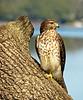 Coopers hawk spotted  from back door looking toward Lake Hernando, Florida.