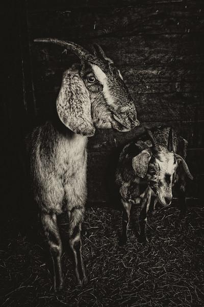 Goats  #1