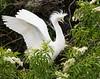 Snowy Egret. Saint Augustine Aligator Farm, Florida.