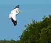 White pelican. Ding Darling National Wildlife Preserve, Sanibel Island, Florida.