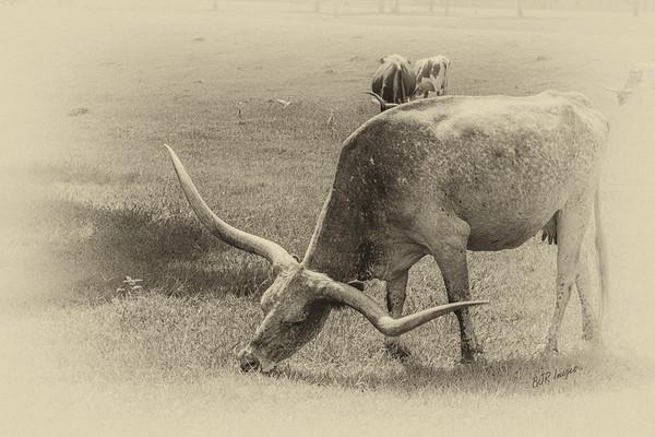 Old Style Texas Longhorn