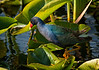 Purple gallinule, on Lake Rousseau, Florida.