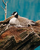 Olympic Peninsula, Washington State. Crescent Lake. Canada Goose on nest.