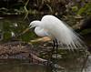 Cattle Egret. Gatorland in Orlando, Florida.