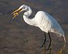 White egret. Ding Darling preserve, Sanibel Island, Florida.